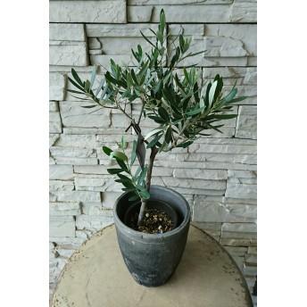 【現品販売】香川県産 創樹 オリーブ 植物のみもok