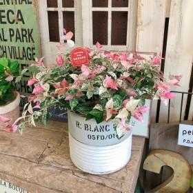 新作 現品【初雪カズラ】オシャレなツートンカラーブリキ鉢 白ピンクグリーンの毎年楽しめる植物