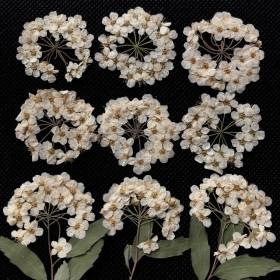 コデマリ 押し花