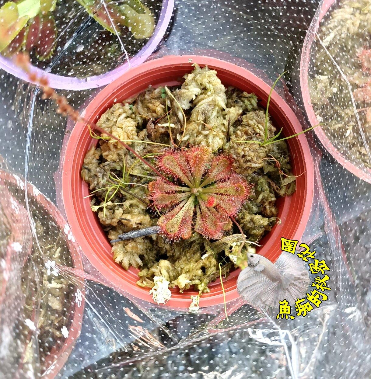 3吋盆 [小型紅色毛氈苔 小毛氈苔盆栽] 活體食蟲植物 可以捕捉小昆蟲 ~需光線需充足+保濕