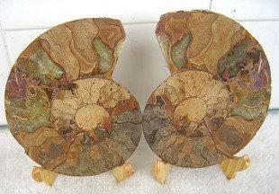 海螺化石菊石發財螺開片螺化石