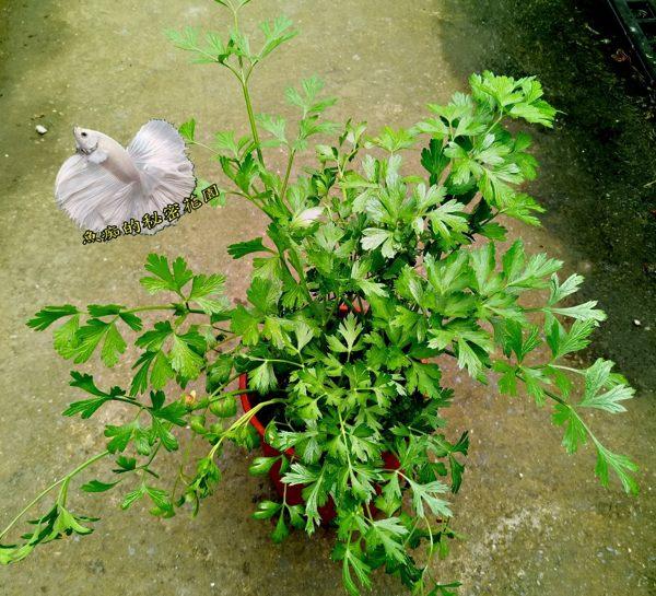 5吋盆 [大義大利芹菜盆栽 異國料理類似香菜用途]活體香草植物盆栽, 可食用.料理或泡茶 ~ 半日照佳~ 先確認有沒有貨