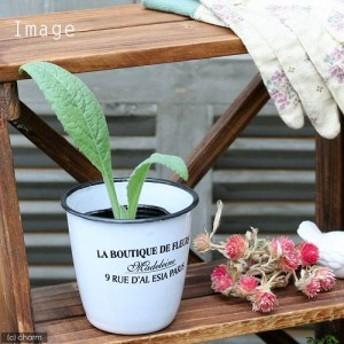 (観葉植物)ハーブ苗 アーティチョーク グリーングローブ 3号(1ポット) 家庭菜園 北海道冬季発送不可