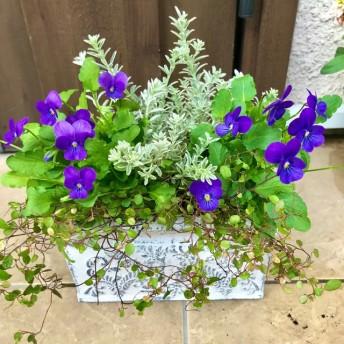 鮮やかパープルブルーのビオラ 寄せ植え