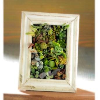 早割「Creema限定」 plants001 多肉寄植え 植物 ウッドフレーム