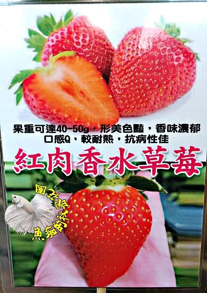 [紅肉香水草莓苗] 2.5-3寸盆 新品種草莓苗 ~換大盆子才會比較快開花結果~