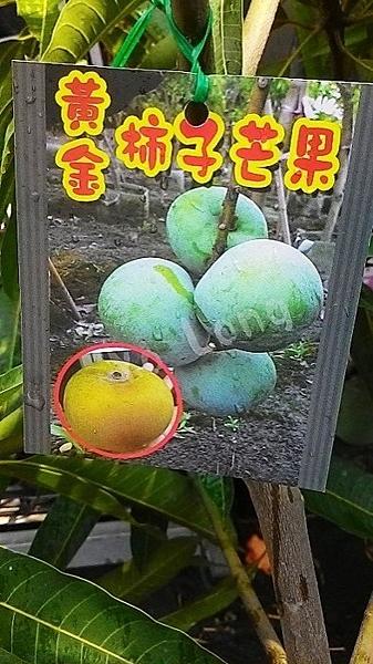 ** 黃金柿子芒果 ** 4.5吋盆/高35-50cm OvO