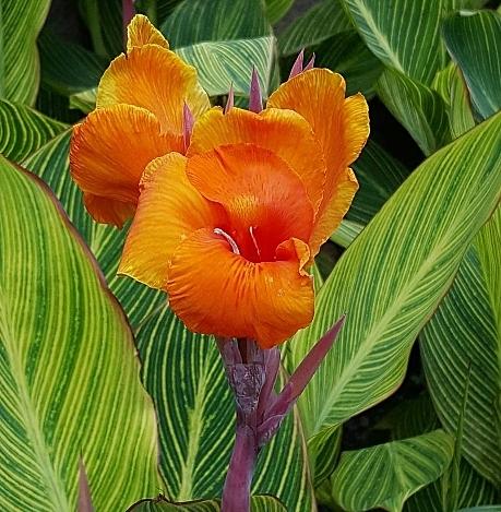 花花世界_襯景植物--美人蕉--斑葉-橘花/6吋盆/高30-50公分/Ts