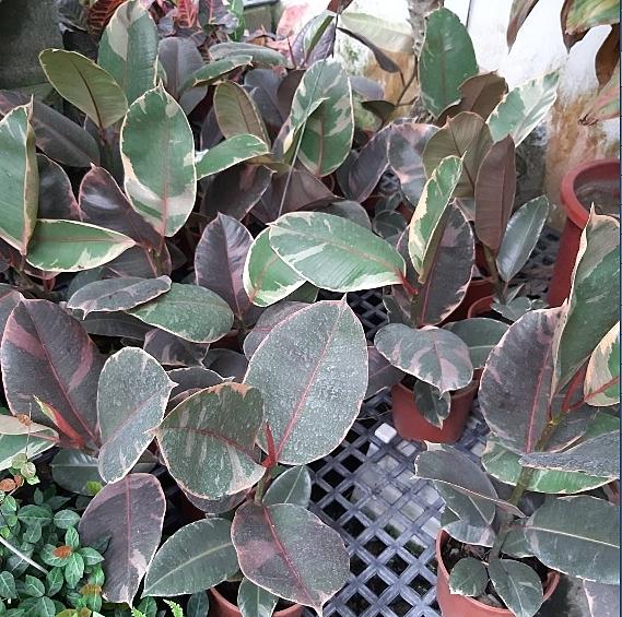 花花世界_觀葉植物--斑葉橡膠樹--又稱斑葉緬樹/一尺吋盆/80-100cm/ Ts(不可超取)