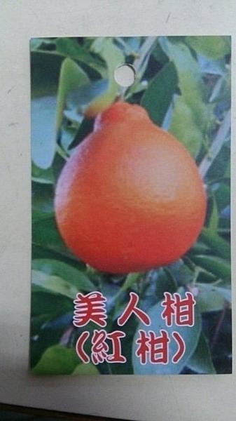 ** 美人柑 (紅柑 美女柑 明尼桔柚) ** 4.5吋盆/高50-60cm OvO