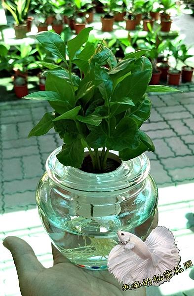 [咖啡樹 水生植物盆栽] 玻璃瓶水耕植物盆栽 半日照佳