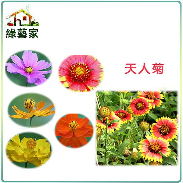 【綠藝家00H03-2】H03.天人菊種子1公斤(美化綠化環境作物)