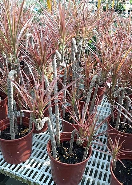 室內觀景植物 **五彩千年木** 6吋盆/高30-55公分 /紅邊竹蕉、紅邊鐵樹【花花世界玫瑰園】m
