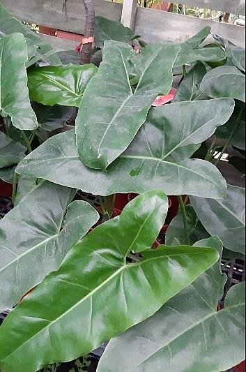 花花世界_觀葉植物--狹葉蔓綠絨--適應力強/6吋盆/高30~40公分/Ts
