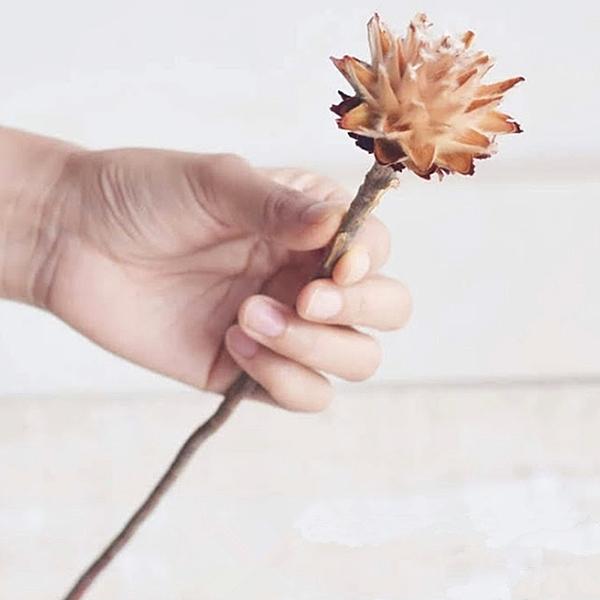 非洲羽毛菊,花直徑5公分左右,長20-30公分,單支價