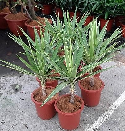 花花世界_觀葉植物-- 斑葉尤加--室內環境的植物/8吋盆/高60cm/Ts
