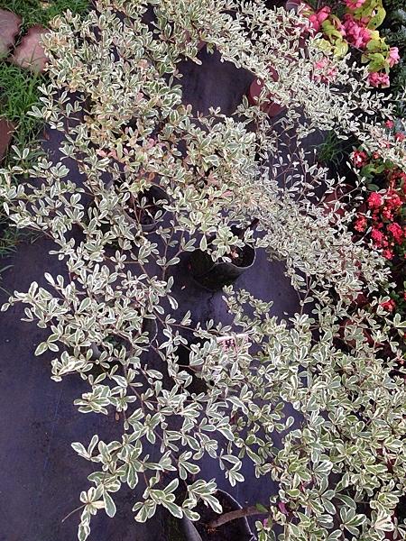 花花世界__喬木 --斑葉欖仁 (錦葉欖仁) --樹姿優美/8吋盆/ 高60cm/ TS