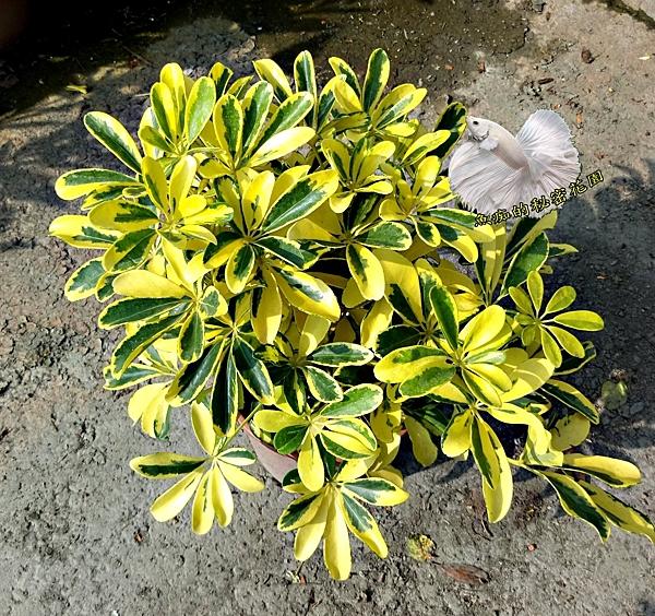 [黃金鵝掌藤 斑葉七葉蘭盆栽 ] 6吋盆活體室外植物盆栽