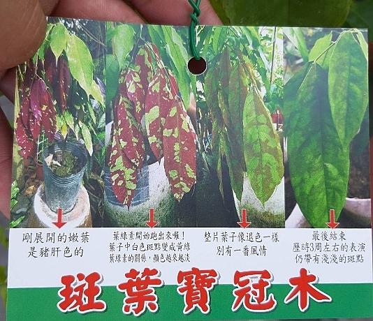 花花世界_常綠喬木--斑葉寶冠木--稀有品種/4寸盆/高20-30公分/Ts