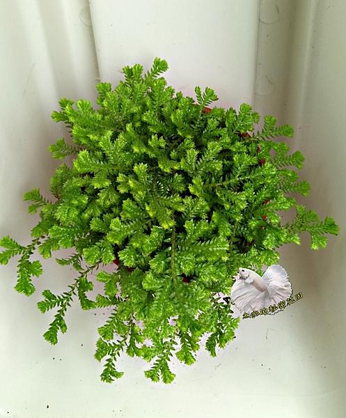 活體  小卷柏 蕨類盆栽 室內植物3吋盆栽 可以淨化空氣