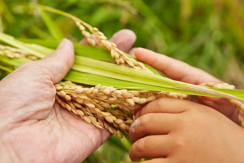 稲穂の様子を見る大人と子供の手