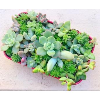 多肉植物 エケベリアセダムの寄せ植え (^‿^) このまま飾れます