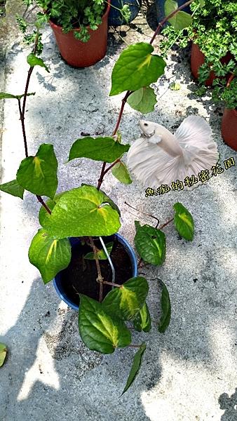 [ 斑葉胡椒樹盆栽 ] 5-6吋盆活體盆栽 室外香料植物 香草植物 可食用