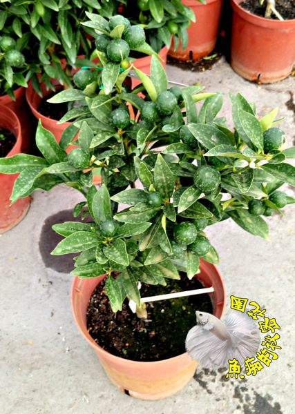 [大甜桔盆栽 日本甜桔樹 果變黃可以連皮吃] 6-8吋多年生活體果樹盆栽 室外植物~ 天氣冷果實多. 天氣熱果實會少很多