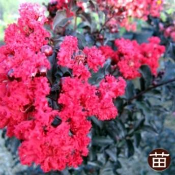 サルスベリ 苗 銅葉サルスベリブラックパール ルビー ポット苗 庭木 落葉樹 シンボルツリー