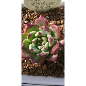 パクさん苗 ️東雲姫 ️花歌農場 ️多肉植物 ️エケベリア