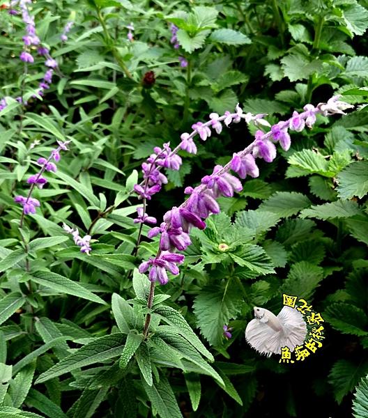 可藥用 [墨西哥鼠尾草 斑葉或綠葉隨機出] 5-6吋 活體香草植物 藥草植物 花卉盆栽