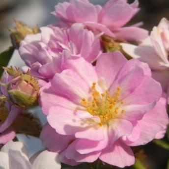 バラ苗 2年大株 4号  パープルスター Miniature Roses M0359 送料無料 母の日