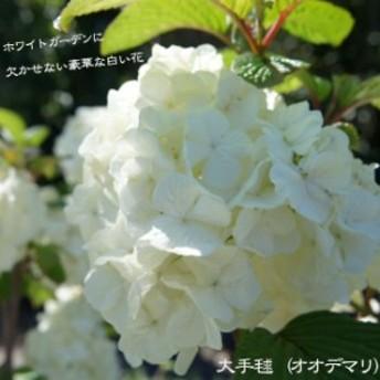 大手毬(オオデマリ) 庭木 落葉樹 低木