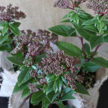 ビバーナム ティヌス 常緑底木 宝石みたいな青い実 麻巻き