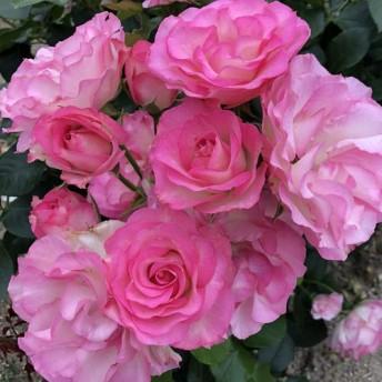 バラ苗 2年大株 4号 ストロベリーアイス Floribunda Roses F0189 送料無料