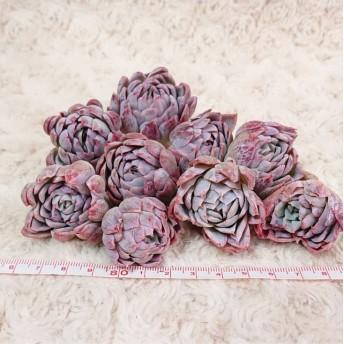 多肉植物 バイオレットクイーン 韓国苗