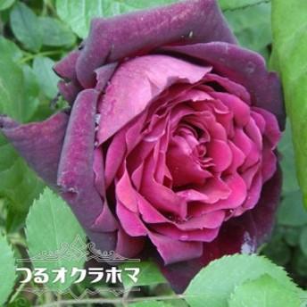 【バラ苗】 つるオクラホマ 大苗 つるバラ 強香 薔薇 バラ苗木 np