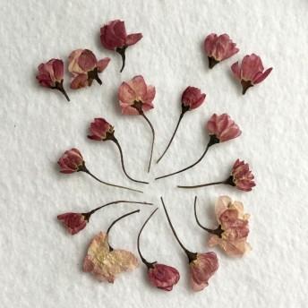 ハナカイドウ 押し花