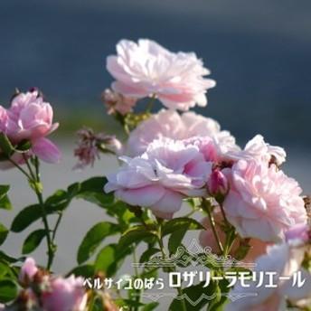 【バラ苗】 ベルサイユのばら ロザリーラモリエール 大苗 木立バラ 【メイアン】 四季咲き バラ苗木