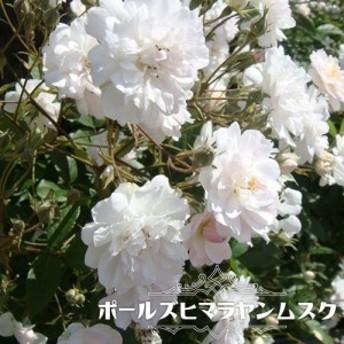 【バラ苗】 ポールズヒマラヤンムスク 大苗 つるバラ ピンク バラ 苗 つるばら 薔薇 np