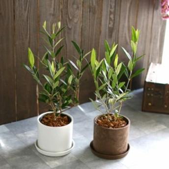 【ミニオリーブ】「 オリーブの木 (高さ40~45cm前後) 選べる鉢 2色 」 オリーブの木 販売 苗木 観葉植物 オリーブの木 鉢植え ガーデ