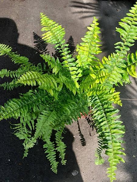 花花世界_常綠植物--斑葉波士頓腎蕨--**葉片特殊**/5吋盆/高30CM/TC