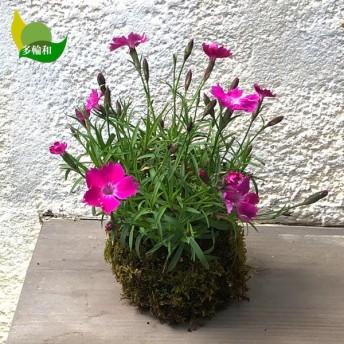 四季咲きナデシコ(もも香)の苔玉/受け皿なし