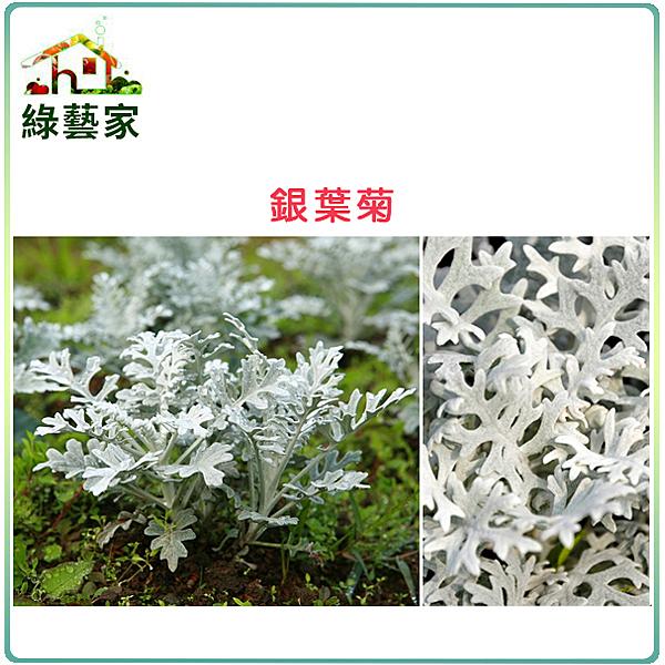 【綠藝家】H20.銀葉菊(銀色,高15~25cm)種子20顆