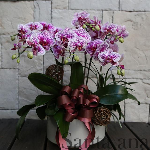 喜慶洋洋蘭花盆栽