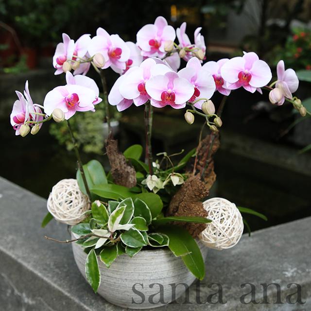 中粉蝴蝶蘭花盆栽