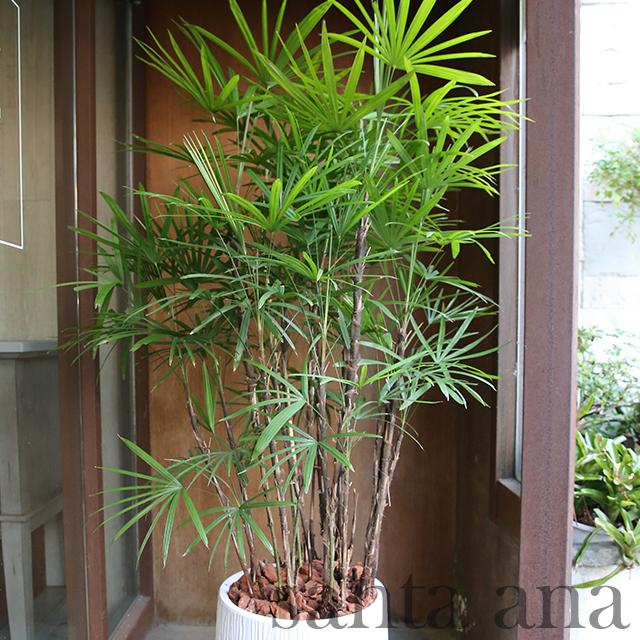 落地日式棕竹盆栽
