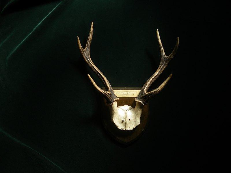 【老時光 OLD-TIME】早期進口鹿角標本