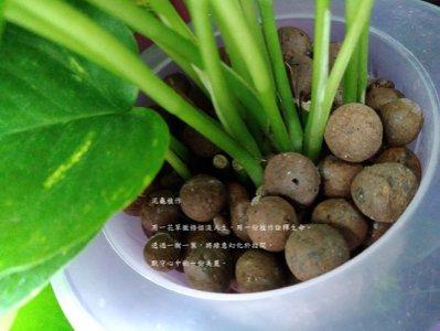【泥龜☘ 發泡煉石_300ml】陶粒 多肉植物 仙人掌 室內植物 水耕 盆栽 鋪面 微景觀 園藝 資材 介質