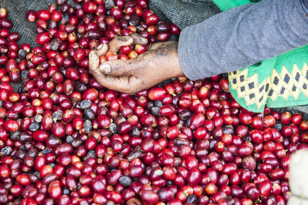【【林咖啡】衣索比亞 耶加雪菲 科契爾  牧羊人  厭氧日晒  G1  濾掛咖啡  12g/包 12包/盒  12g大濾掛  大包裝12包入